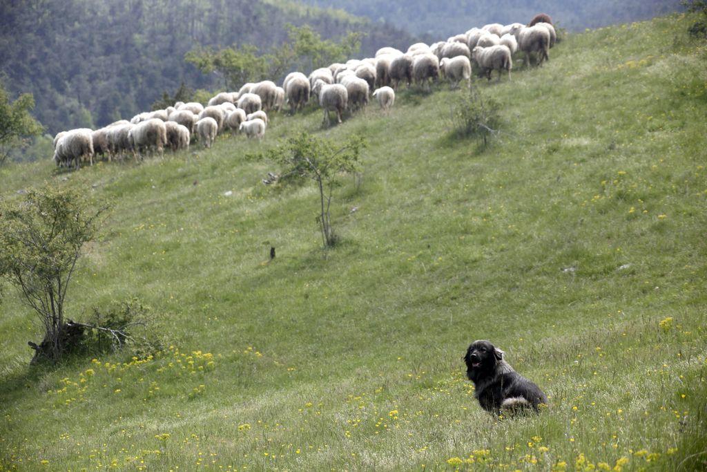 Če je drobnica na območju volkov, jo je treba zaščititi