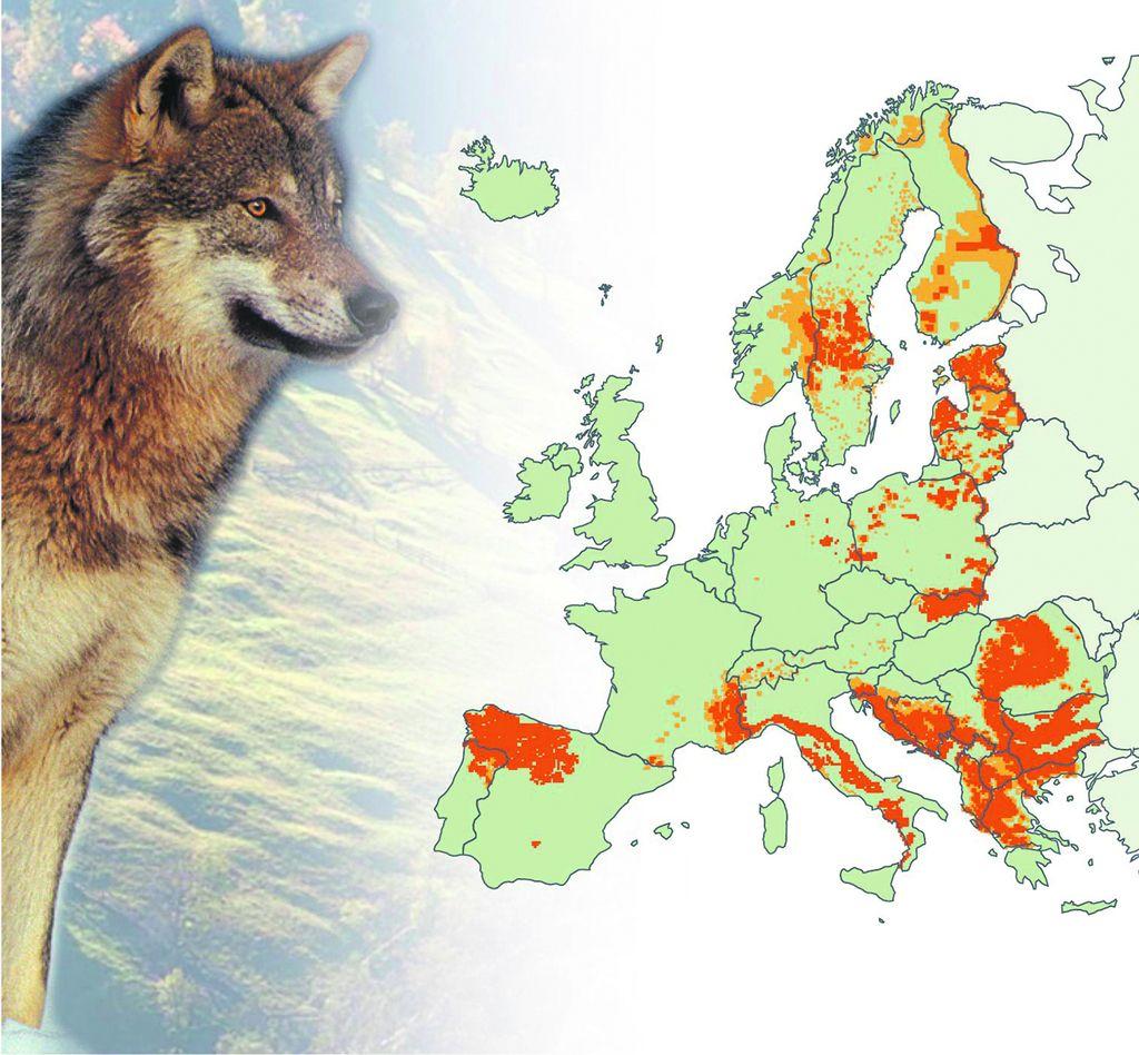 Volkovi prešteti, ob kvoti za odstrel se lomijo kopja