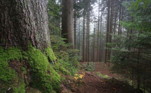 regent pahernikov gozd