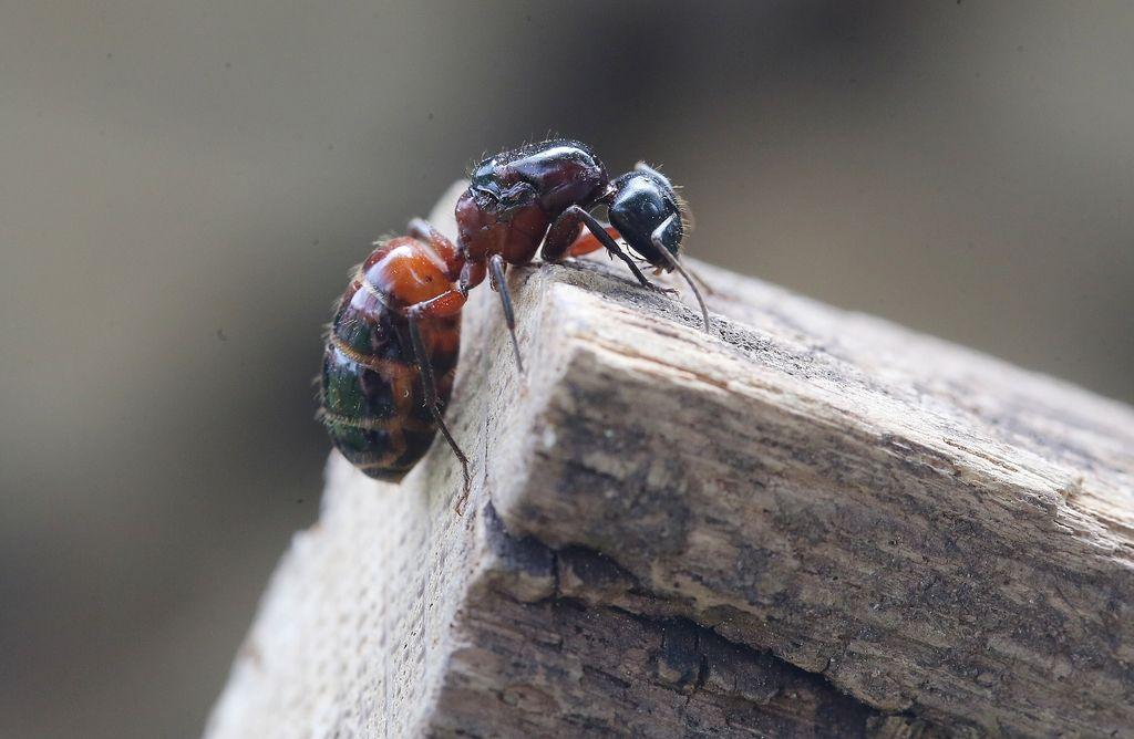 Dobro jutro: Mravlje