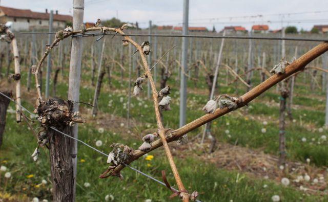 pojbič Pozeble trte in orehi v Radgonsko - Kapelskih goricah v soboto, 22. aprila