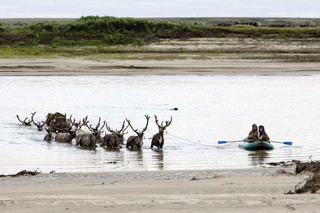 Podnebne spremembe resno ogrožajo severne jelene