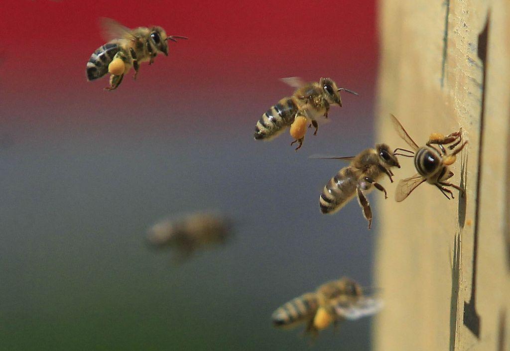 Slovenska čebela brenči v Bruslju