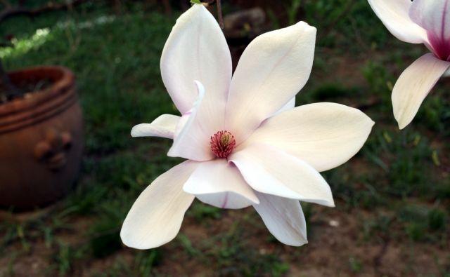 imo*magnolija