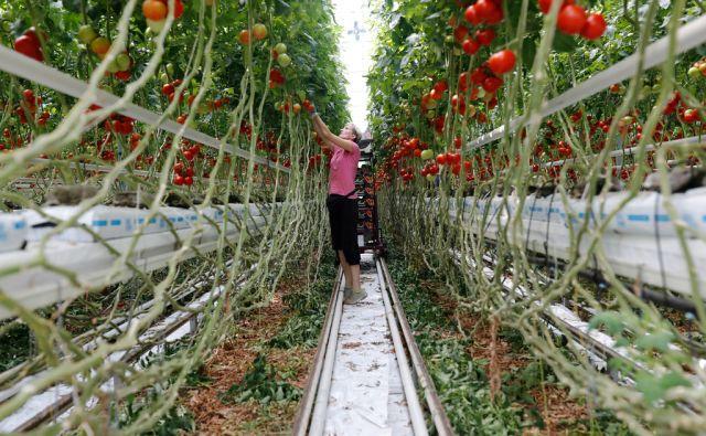 Rastlinjaki podjetja Paradajz d.o.o., ki prideluje paradižnike pod znamko Lušt, v Turnišču, 2. avgusta 2017. [Paradajz d.o.o.,Lušt,paradižniki,pridelava zelenjave,zelenjava,podjetniške zvezde]