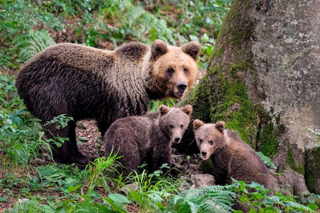 Medvedov imamo približno 570, odstrel bi povečali