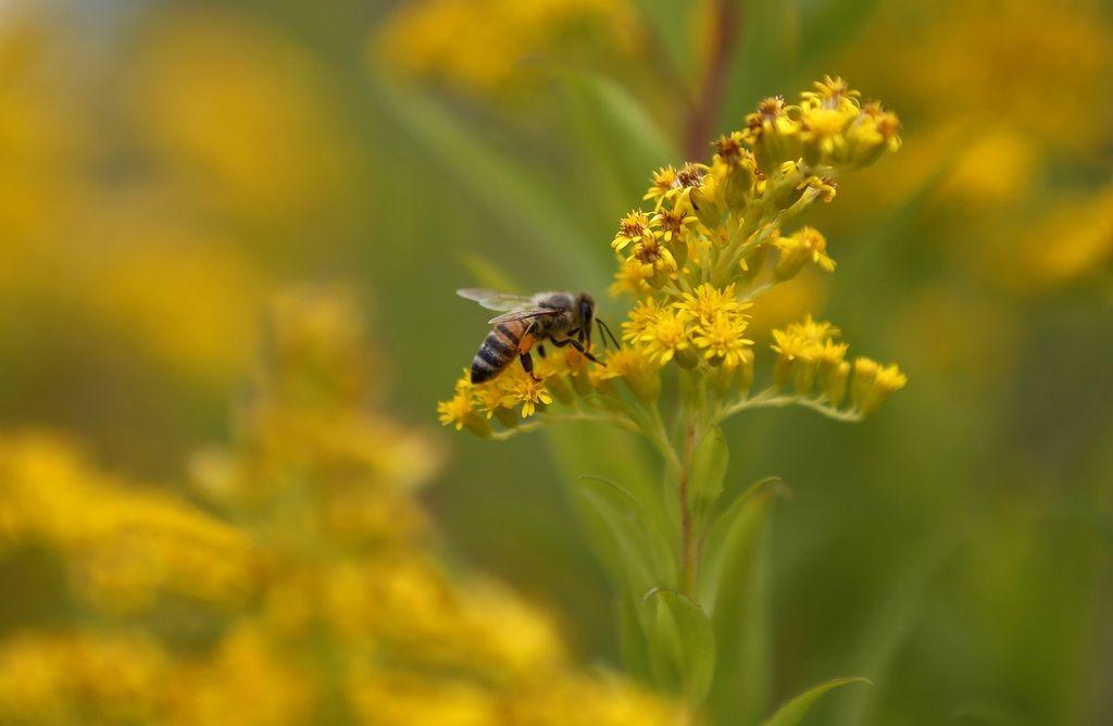 Nov dokaz, da pesticidi morijo čebele