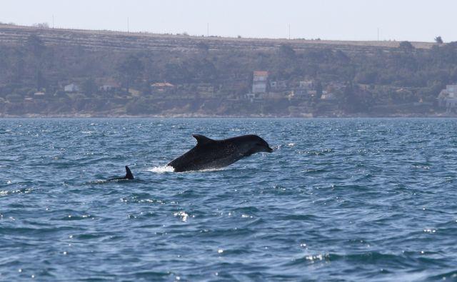 Delfini v Piranskem zalivu 9. marca