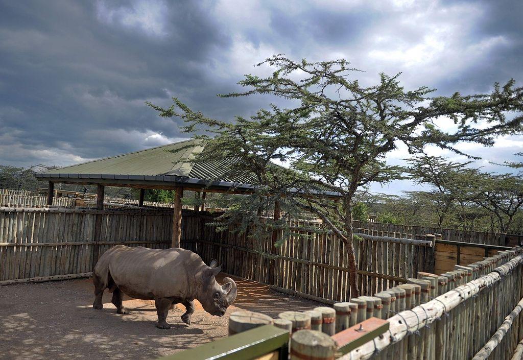 Poginil zadnji samec severnega belega nosoroga