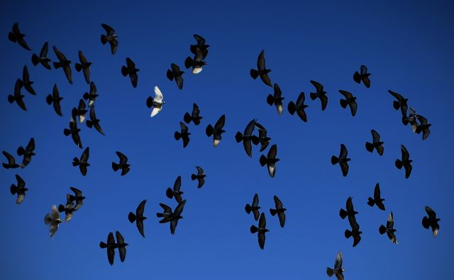 Jata golobov nad mestom. Atene, Grčija 17.januarja 2017.[izjeme,izjemnost,drugačnost,posamezniki,povprečnost,enakost,različnost,ptice,golobi,jate,letenje,živali,nebo,motivi]