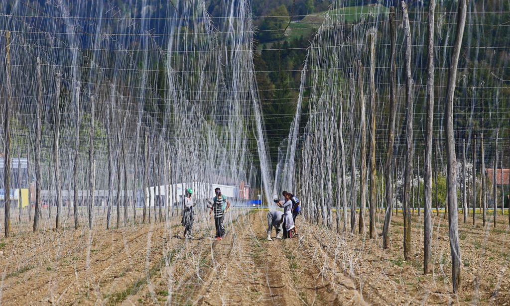 Primestna hmeljiščabi skriliza drevesi