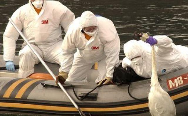 Torek: Ob reki Dravi pri Mariboru so našli še več poginulih labodov pri katerih obstaja sum okuženosti z virusom ptičje gripe tipa H5. Novo žarišče so razglasili tudi pri Slovenj Gradcu.