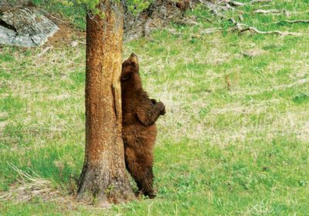 Iskanje medvedke končano, mladiča poginila